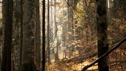 WWF a învins: pădurile virgine vor fi salvate