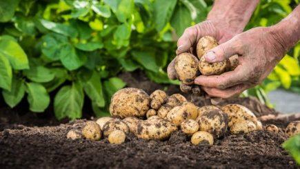 Un fermier din Lunguleţu livrează de 12 ani cartofi pentru chips-urile Lay's