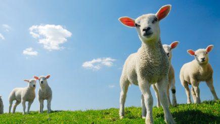 Paște 2017. Câți miei vor fi sacrificați de sărbători și care va fi destinația surpriză