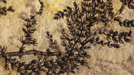 Descoperire istorică făcută în India. A fost găsită cea mai veche plantă fosilizată