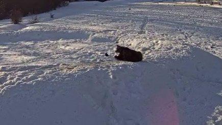 Cum mai pot fi văzuți urșii de la Zărnești